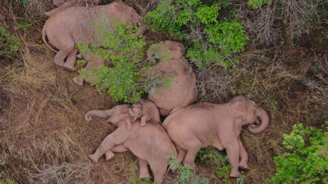 The 500km trekking elephant herd suddenly became a world star after only one night 2