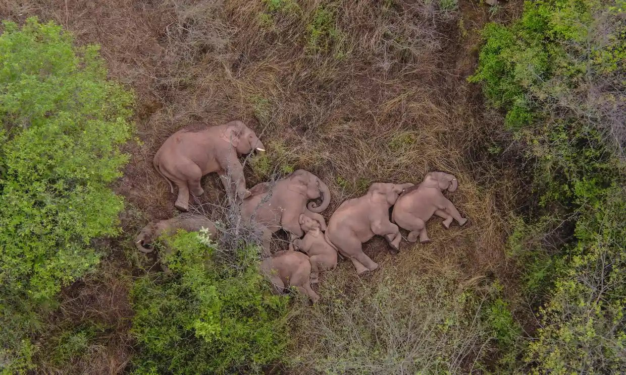 The 500km trekking elephant herd suddenly became a world star after just one night 3
