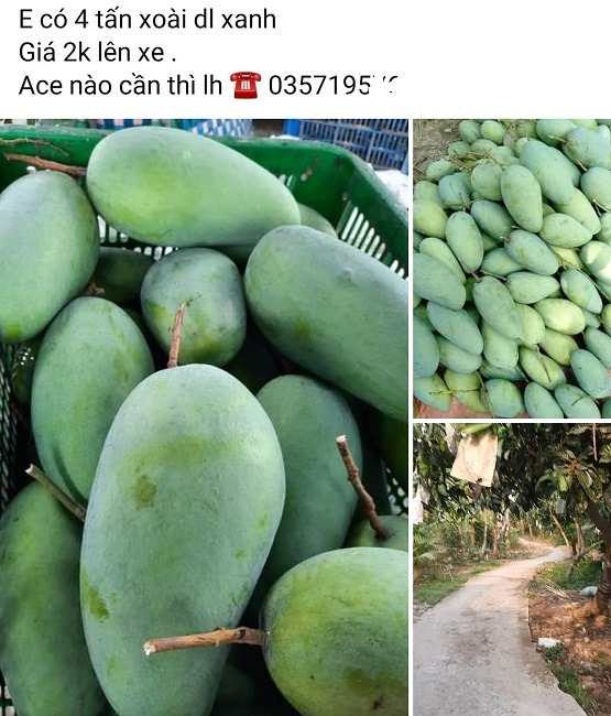 The price of Australian mangoes increased sharply after 10 days, when farmers let mangoes ripen on their own, full of roots 2