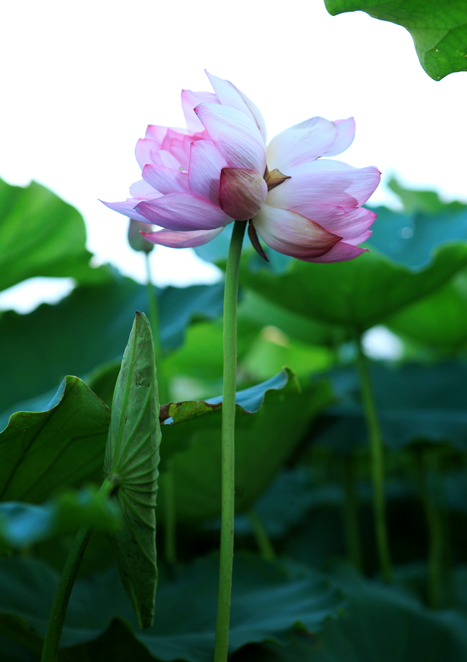Rare and precious king lotus, 300,000 VND 1 branch is still hunted by many people 3
