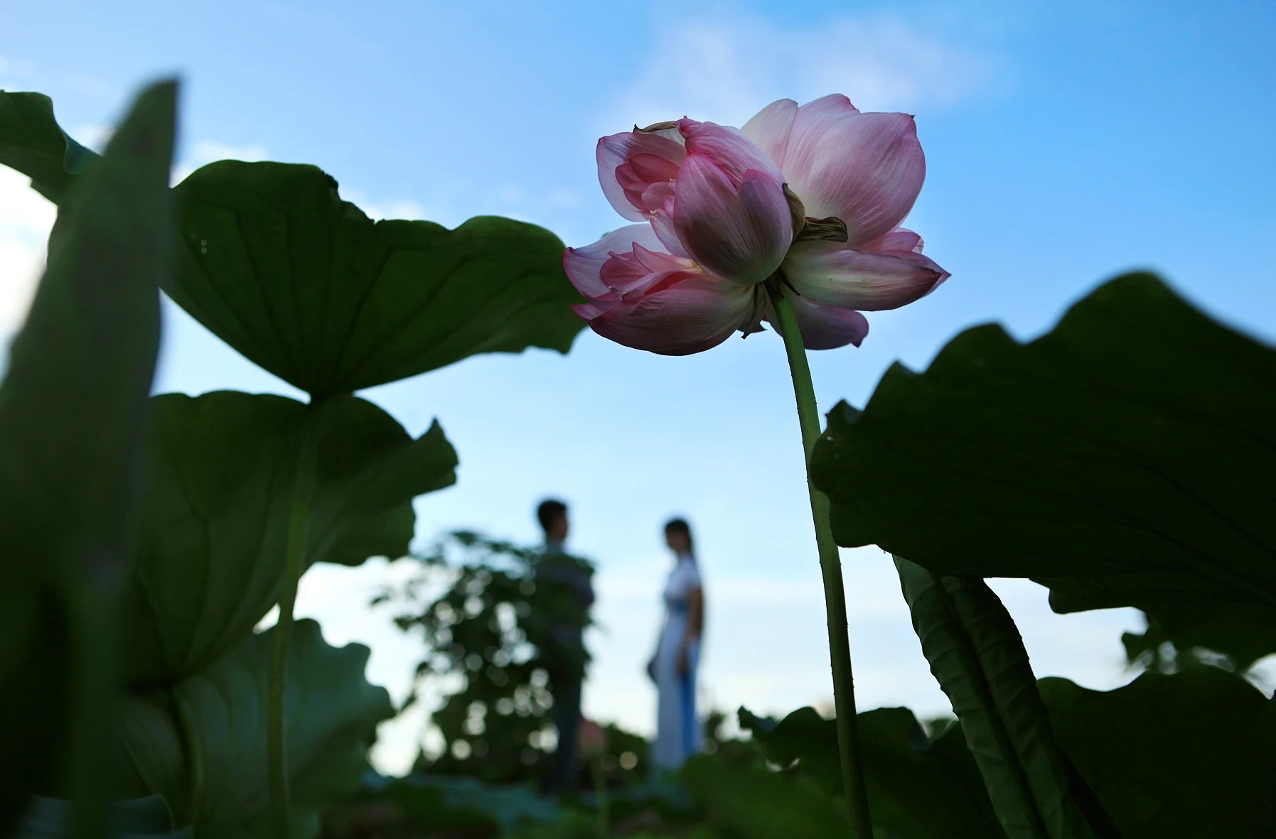 Rare and precious king lotus, 300,000 VND 1 branch is still hunted by many people 4