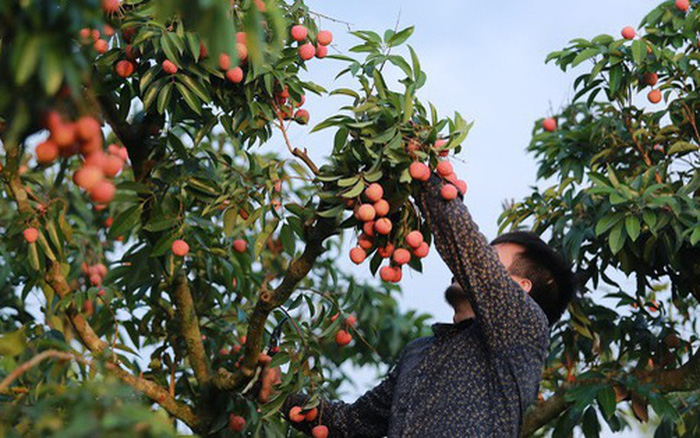 Bac Giang: There is no story that lychee will soon be forced down to 2,000 VND/kg 1