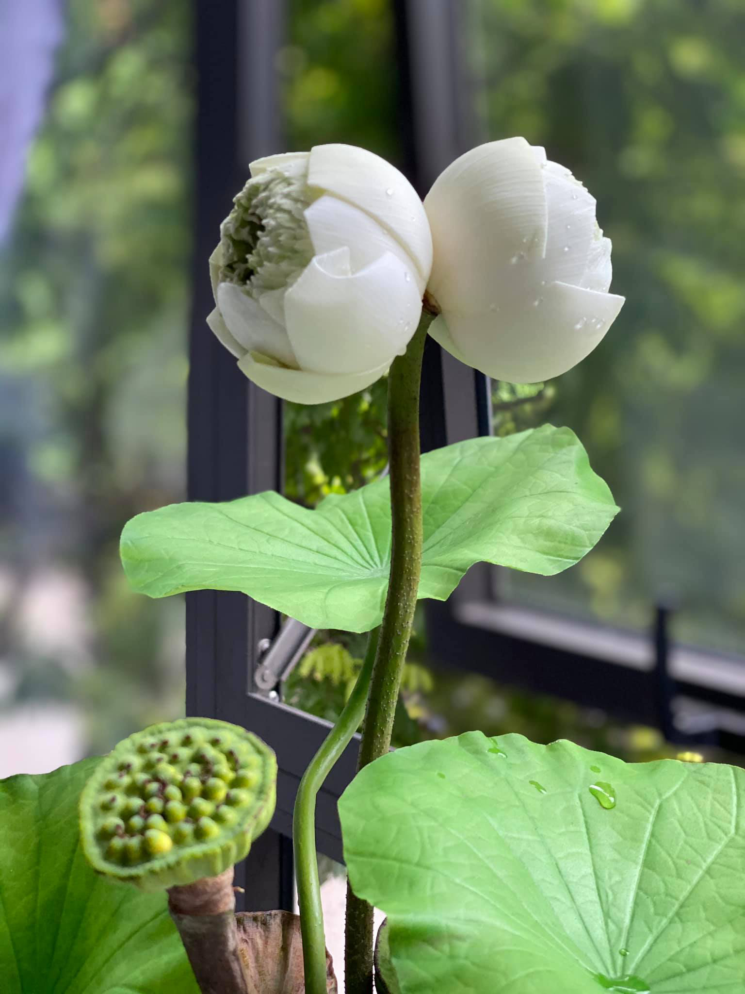 Rare and precious king lotus, 300,000 VND 1 branch is still hunted by many people 1