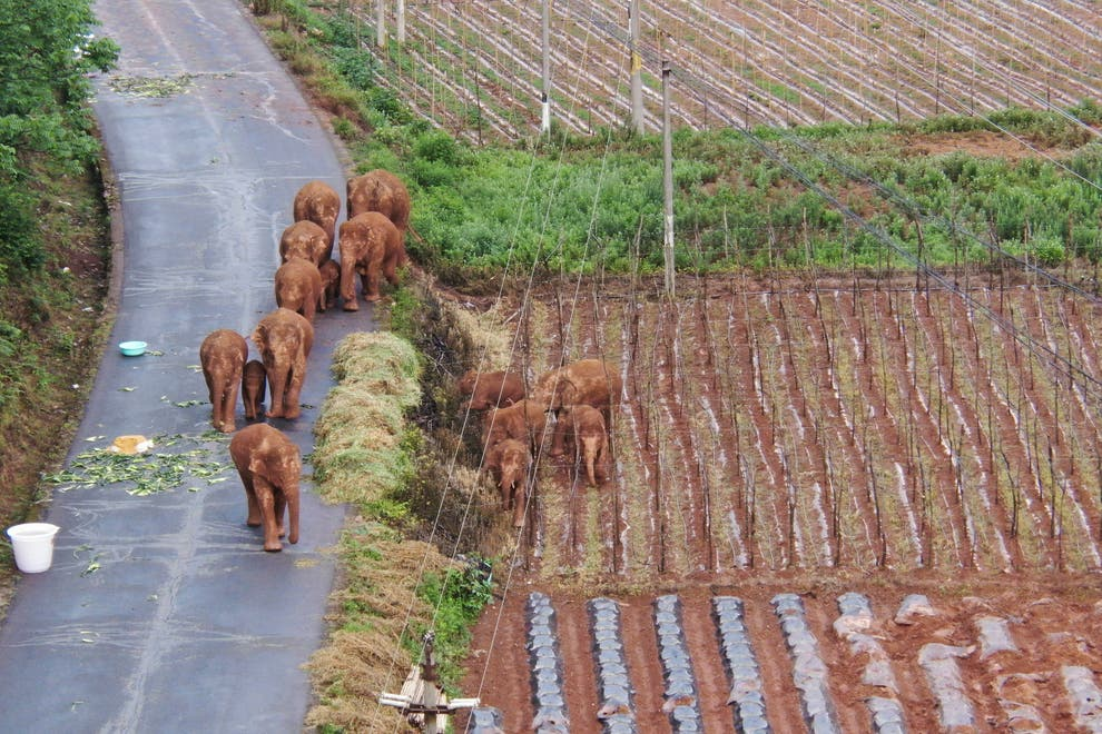 The 500km trekking elephant herd suddenly became a world star in just one night