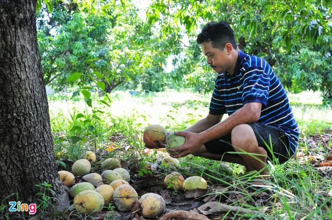 The price of Australian mangoes increased sharply after 10 days when farmers let mangoes ripen on their own, full of roots 1