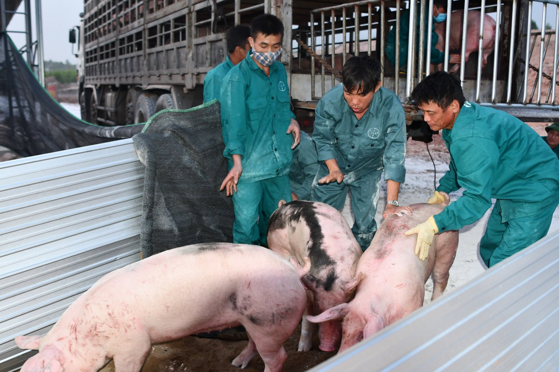 Live hog price today 1/10: Continue to go down 2