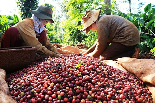 Coffee prices today 1/10: Domestic market slightly decreased, Vietnam entered a new crop 1