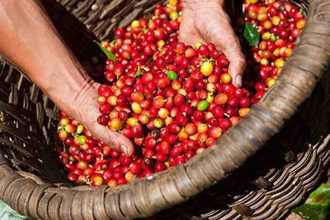 Coffee price today 2/10: Strong increase in all markets 1