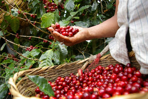 Coffee prices today 11/10: The domestic market has not prospered much 2