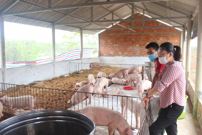 Live hog price today September 29: Falling momentum is still maintained in many localities 3