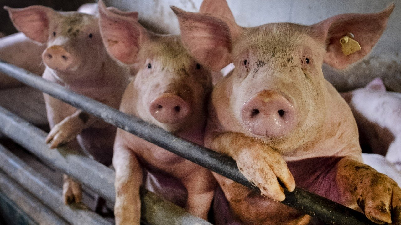 Live hog price today September 29: The downward trend is still maintained in many localities 1