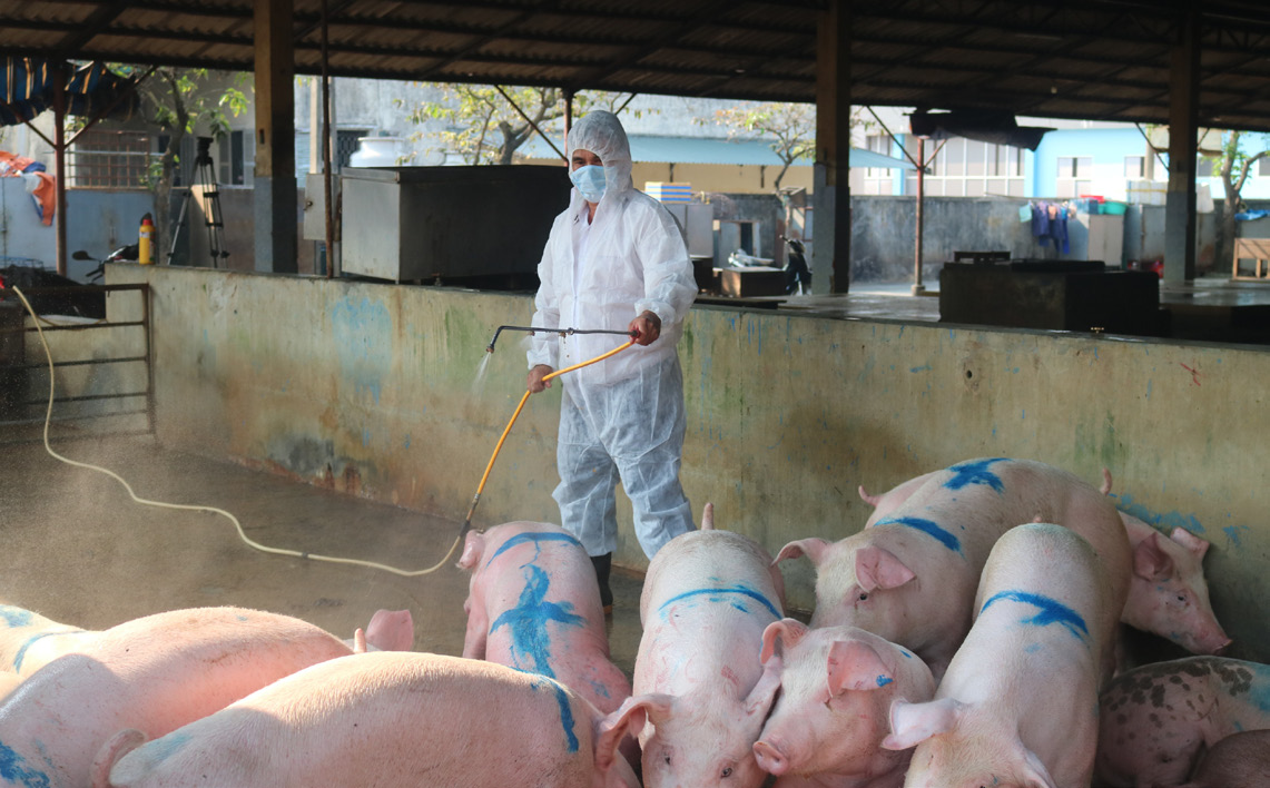 Live hog price today 4/10: The three regions continue to drop sharply next week, reaching the bottom of VND 41,000/kg 4