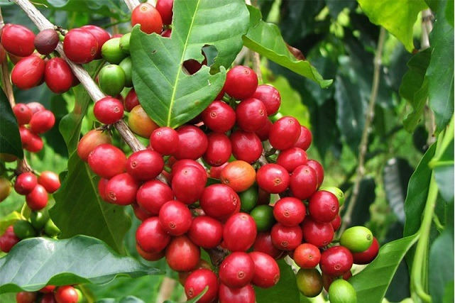 Coffee price today 8/10: The domestic market does not change 1