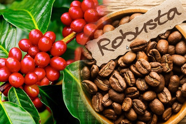 Coffee price today 13/10: The domestic market increased sharply by 1