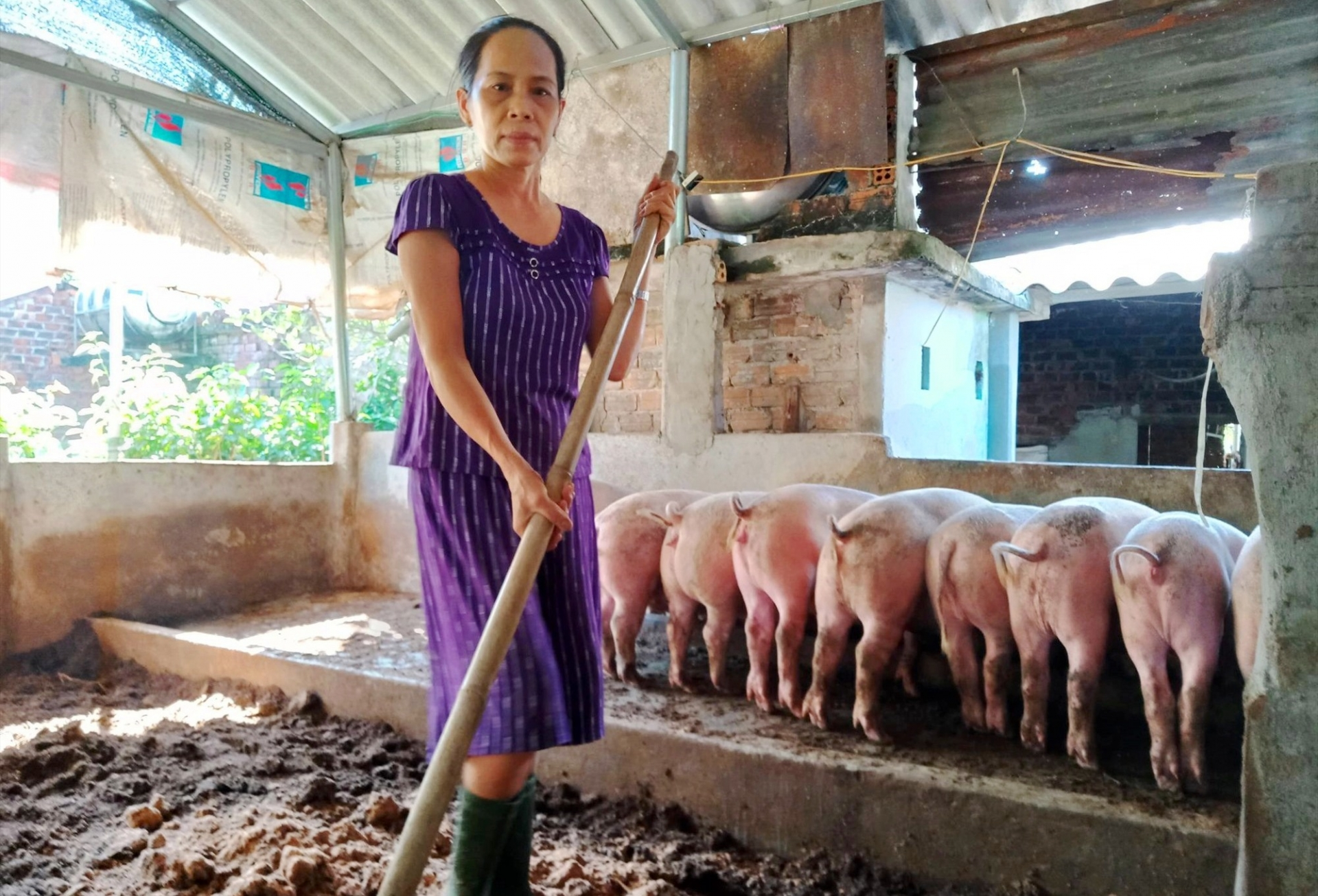 Live hog price today 10/15: Uneven increase and decrease 1