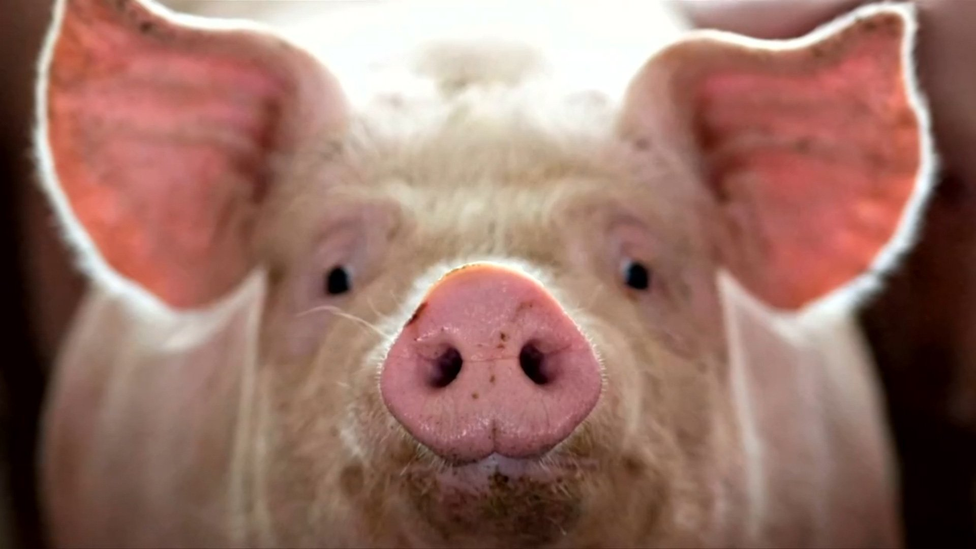 Live hog price today 12/10: The downtrend continues 1