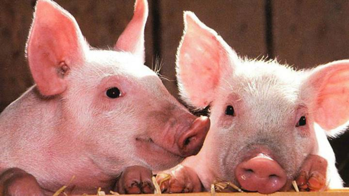 Live hog price today 4/10: The three regions continue to plummet next week, reaching the bottom at 41,000 VND/kg 1