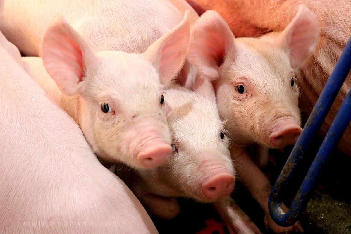 Live hog price today 7/10: Slight decrease in some localities, the North is the lowest in the country 1