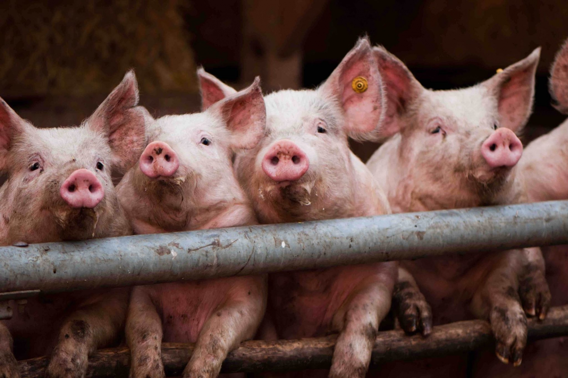 Live hog price today 11/10: Simultaneously slowed down across 3 regions 1
