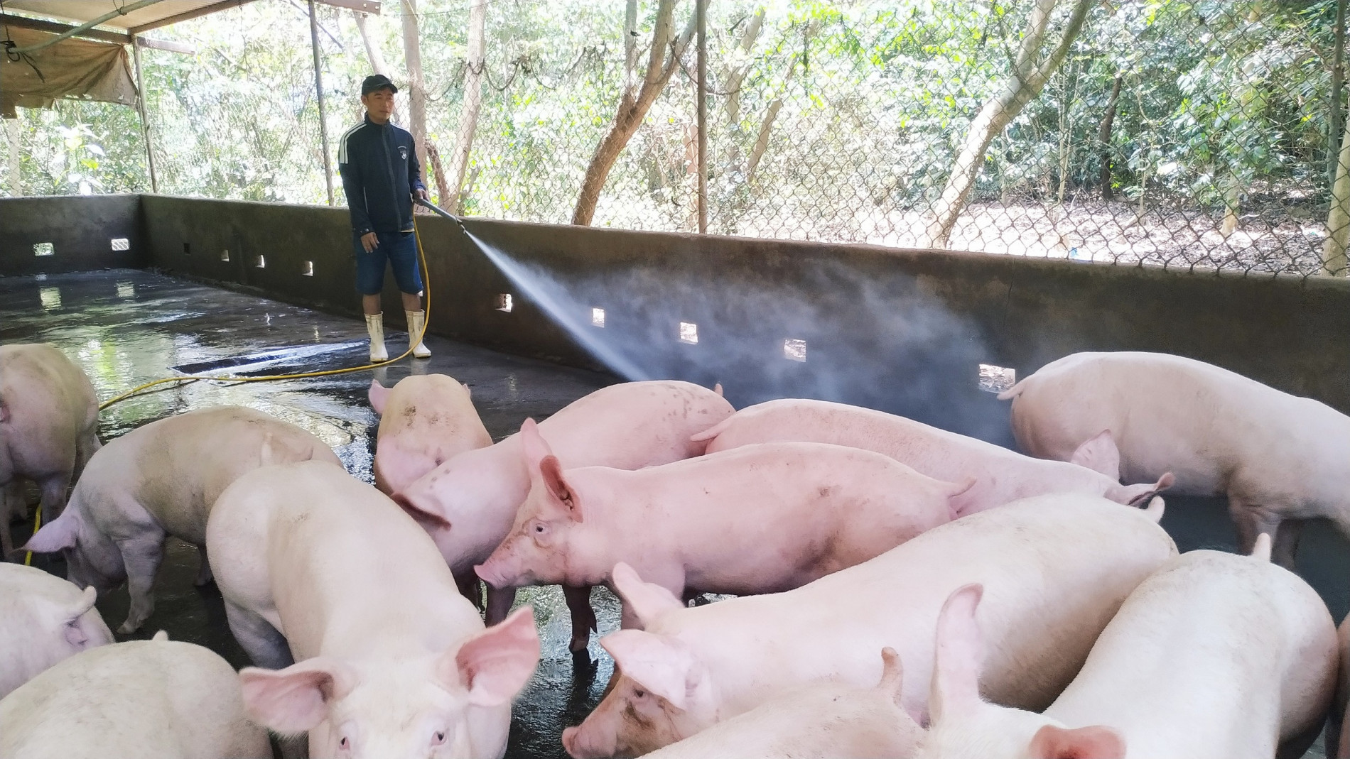 Live hog price today October 13: Reduced floor collapse, peaking at 6,000 VND/kg 2